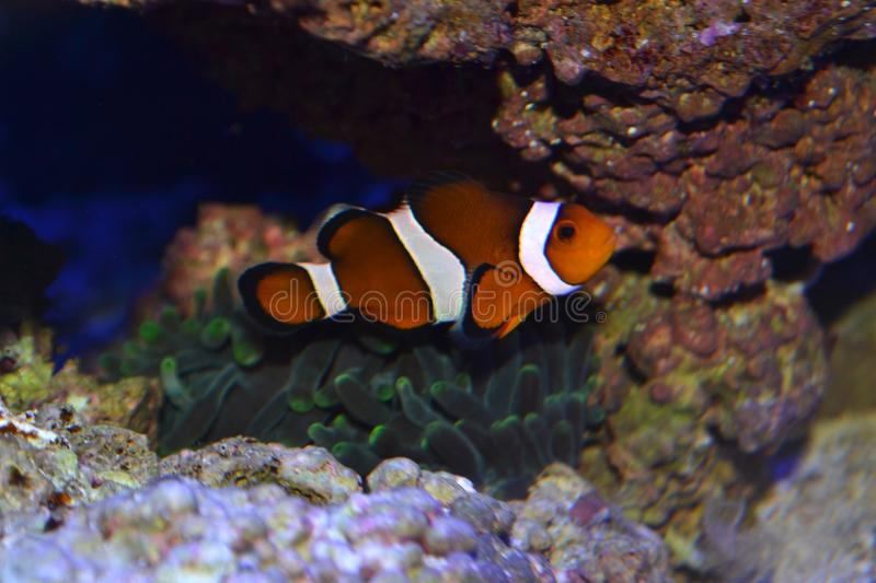 Clownfish with anemone royalty free stock images