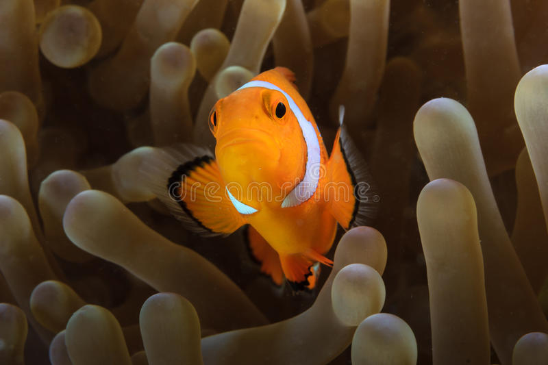 Clownfish in anemone. Pacific Clownfish hides in the protective tentacles of its home anemone royalty free stock photos