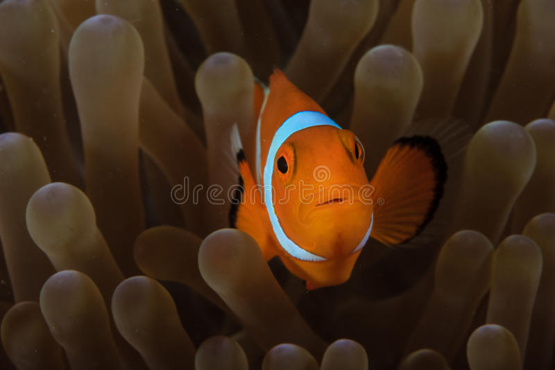Clownfish in anemone. Pacific Clownfish hides in the protective tentacles of its home anemone royalty free stock image
