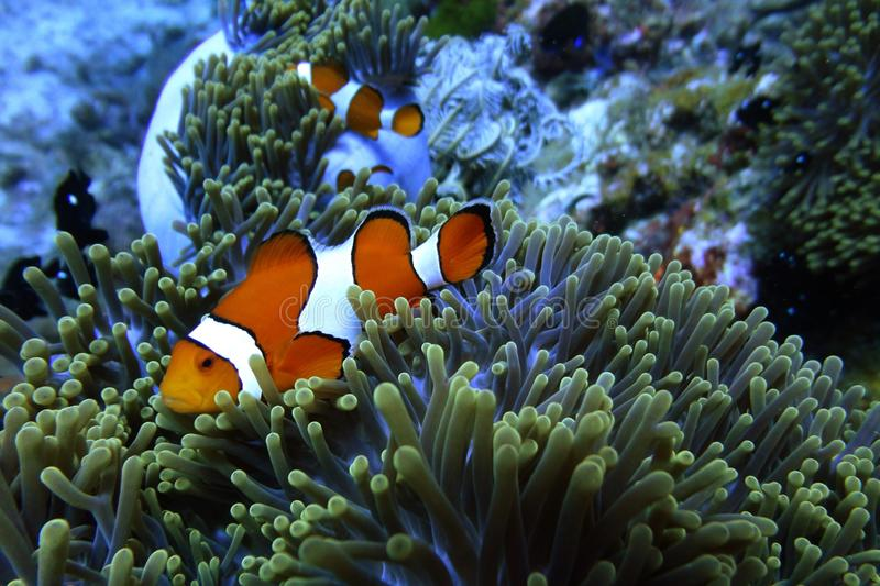 Clownfish in anemone under the sea stock images