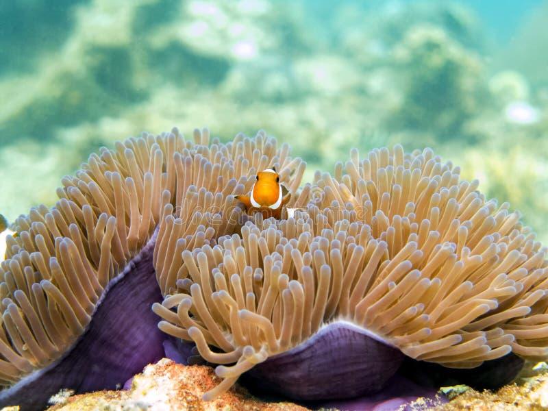 Clownfish anemonefish -巴兴地群岛,马来西亚 库存图片