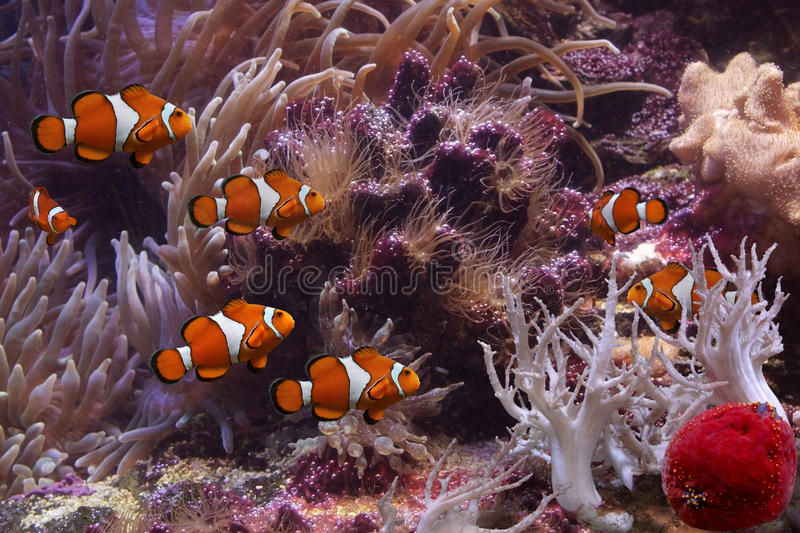 Clownfish and anemonefish. This is clown anemonefish swimming in its anemone underwater royalty free stock images