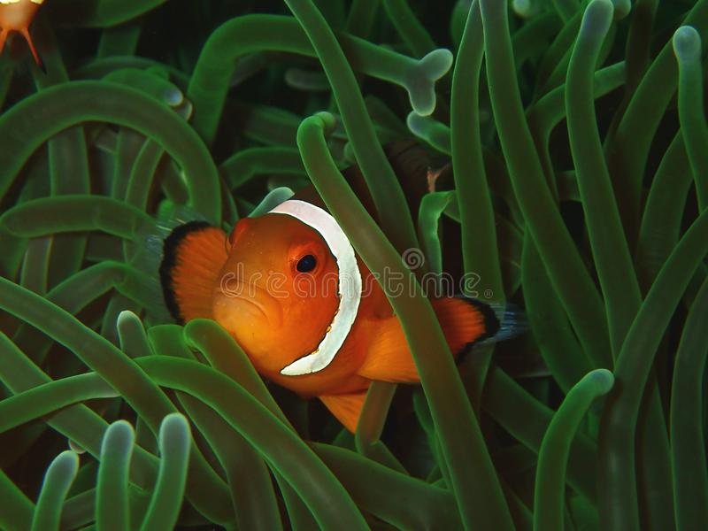 Closeup and macro shot of Western Clown fish or anemone fish. The beauty of underwater world, Sabah. Borneo. Clownfish or anemonefish are fishes from the royalty free stock photo