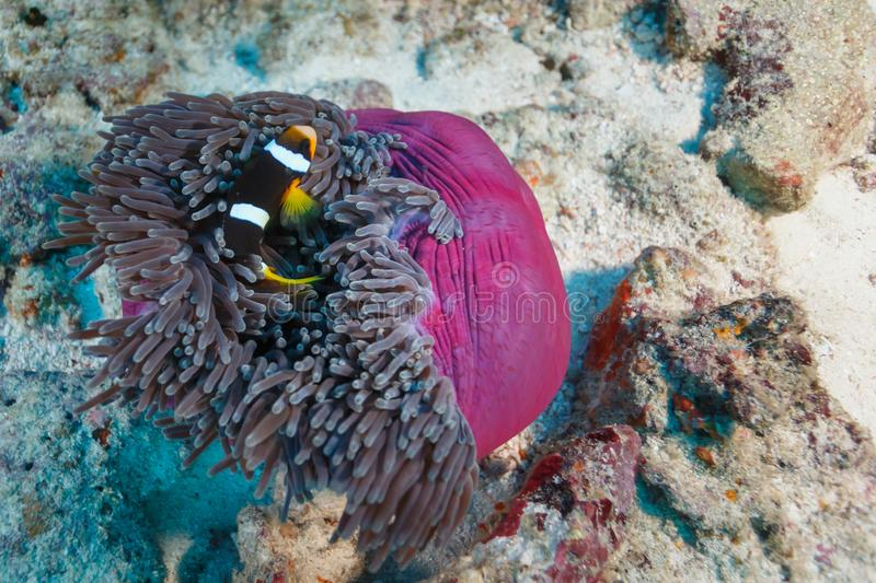 Clownfish and other anemonefish, hiding in a pink sea anemone royalty free stock photos