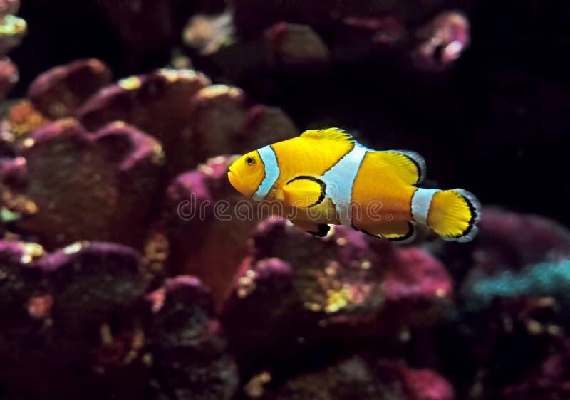 Clownfish of Anemonefish op Aardachtergrond die wordt geïsoleerd royalty-vrije stock afbeeldingen