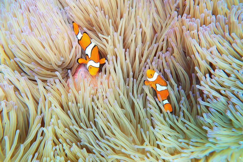 Clownfish Anemonefish Fish Sea Anemone royalty free stock photos