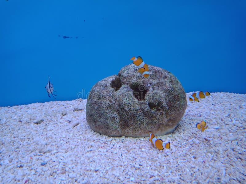 Clownfish, Anemonefish 3 стоковая фотография