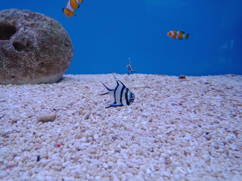 Clownfish, Anemonefish 5 stockbild