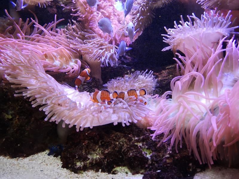 Clownfish foto de stock royalty free