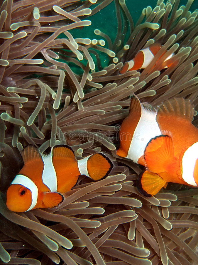 Clownfish in barriera corallina fotografie stock libere da diritti