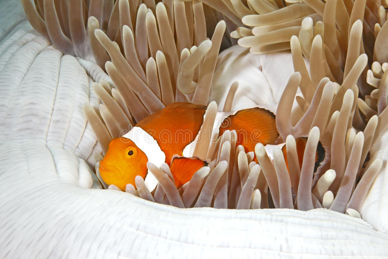Download Clownfish stock photo. Image of ocean, amphiprion, clownfish - 35741170