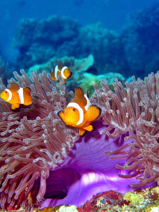 Clownfish Colony. Beautiful coral reef with colorful lives such as these clownfishes