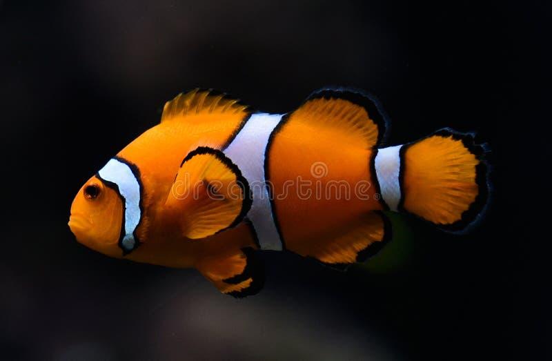 Clownfish d'Amphiprioninae aka Ocellaris photo stock