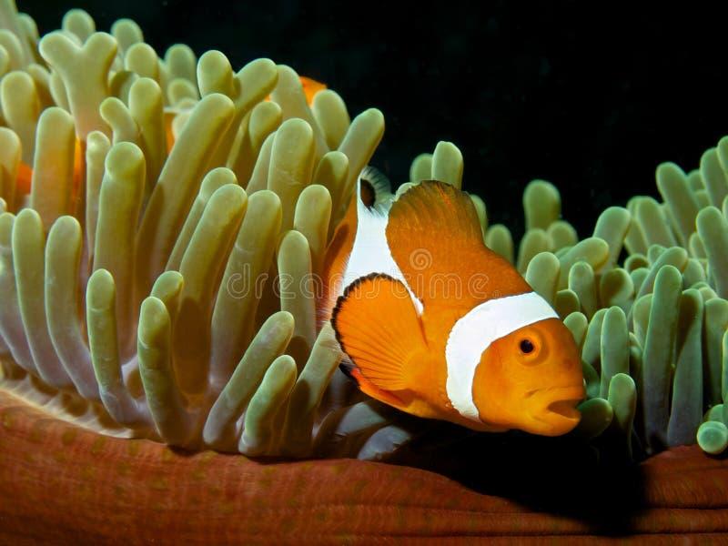 Clownfish d'Ocellaris avec le fond noir image stock
