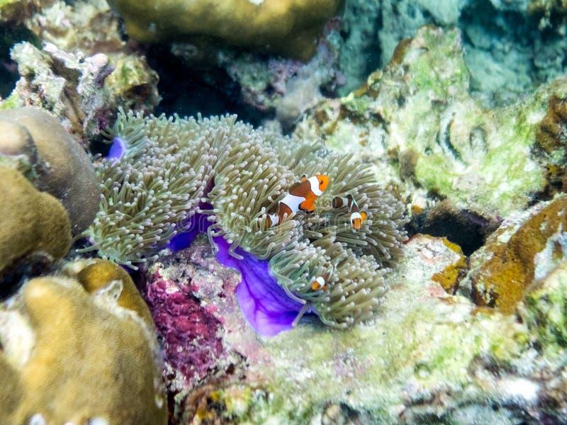 Clownfish da família que escondem no recife de corais imagens de stock royalty free