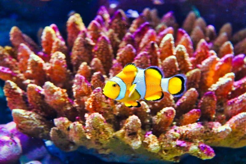 Clownfish dans l'aquarium de vie marine à Bangkok photographie stock