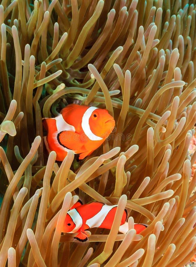 Clownfish dans leur maison photographie stock