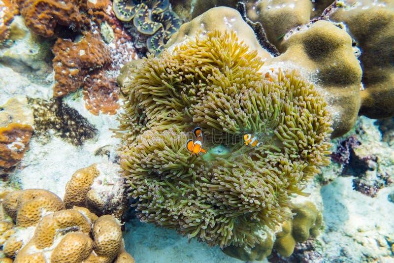 Clownfish, das in der Koralle sich versteckt stock abbildung