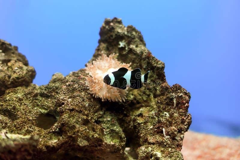 Clownfish de cannelle photographie stock libre de droits