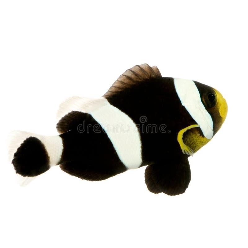 Clownfish de la ensillada - polymnus del Amphiprion foto de archivo
