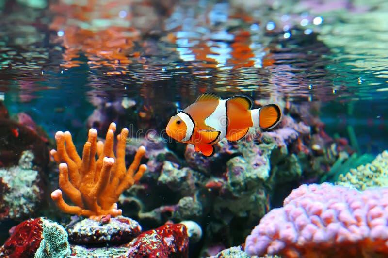 Clownfish de Ocellaris foto de stock royalty free