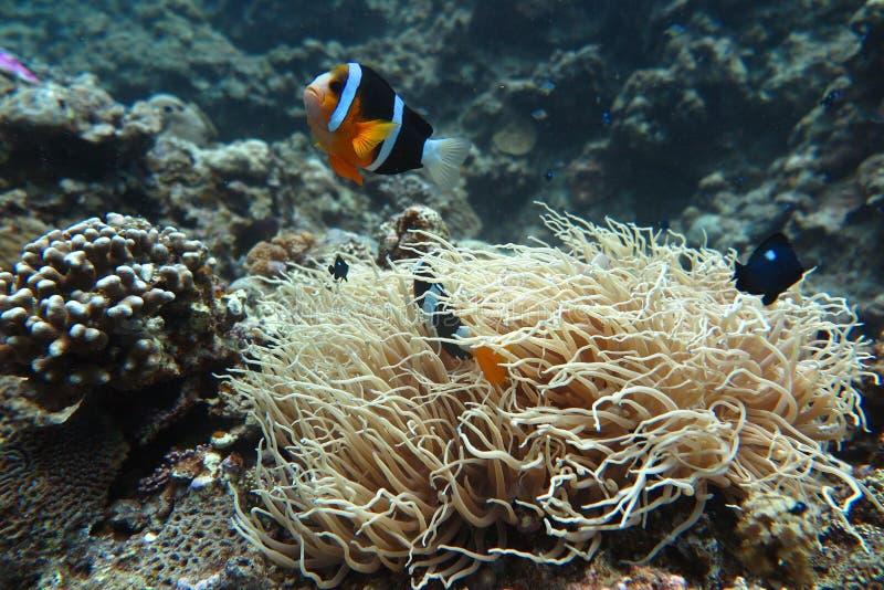 Clownfish in de zeeanemoon stock foto