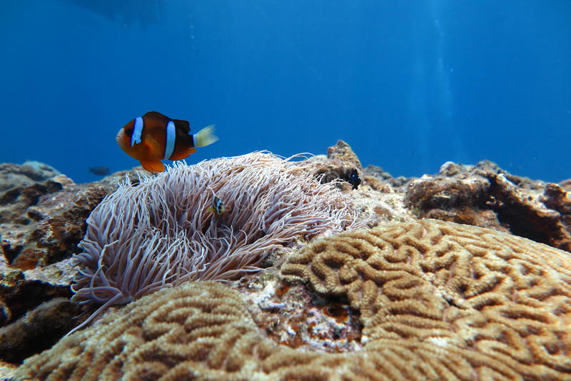 Clownfish in de zeeanemoon royalty-vrije stock afbeelding