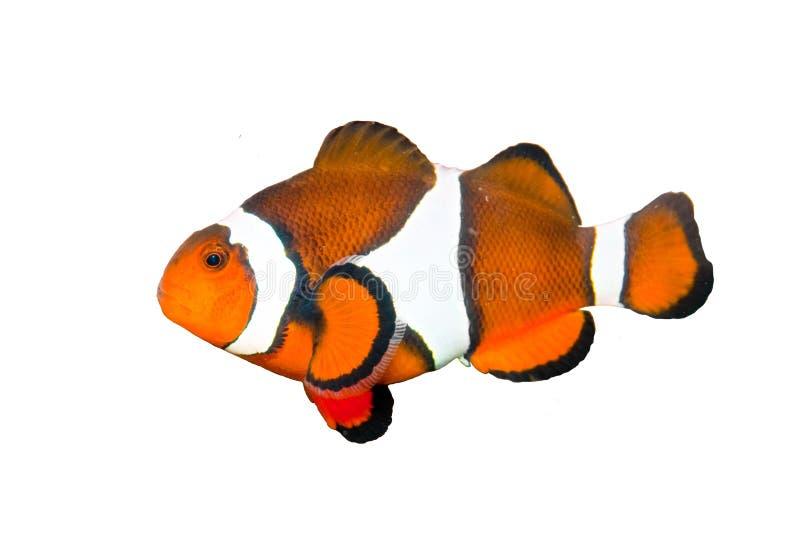 Clownfish die op Wit wordt geïsoleerdr stock foto's
