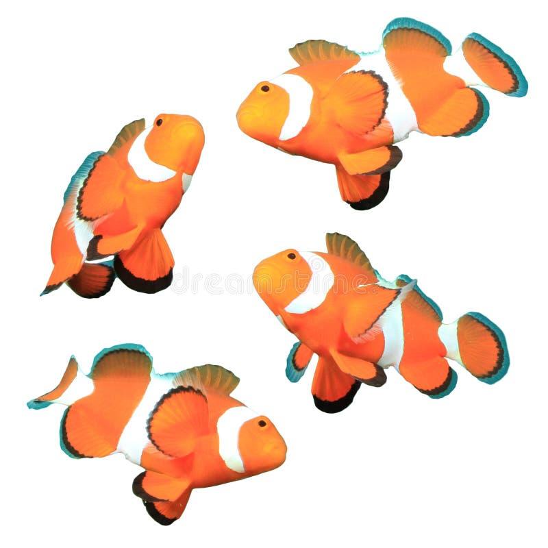 Clownfish die op witte achtergrond wordt geïsoleerd royalty-vrije stock afbeeldingen