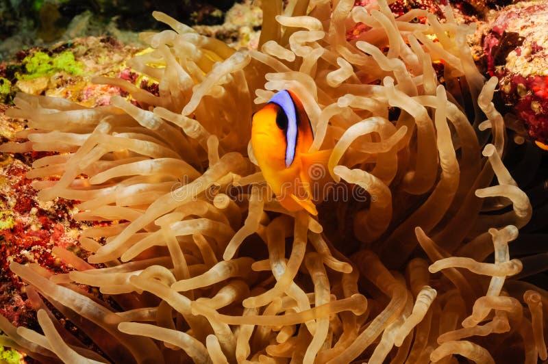 Clownfish dropp royaltyfri fotografi