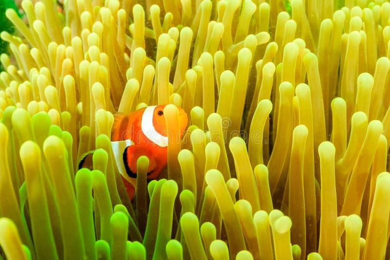 Clownfish durante uma flor de plâncton imagens de stock
