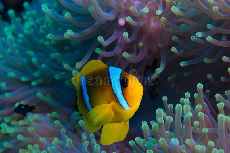 Clownfish e anêmona em um recife de corais tropical fotografia de stock