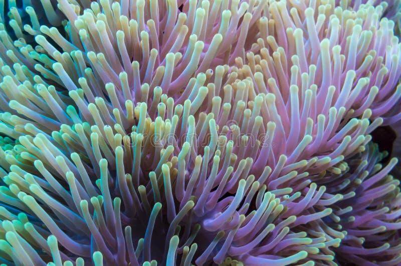 Clownfish e anêmona em um recife de corais tropical fotos de stock royalty free