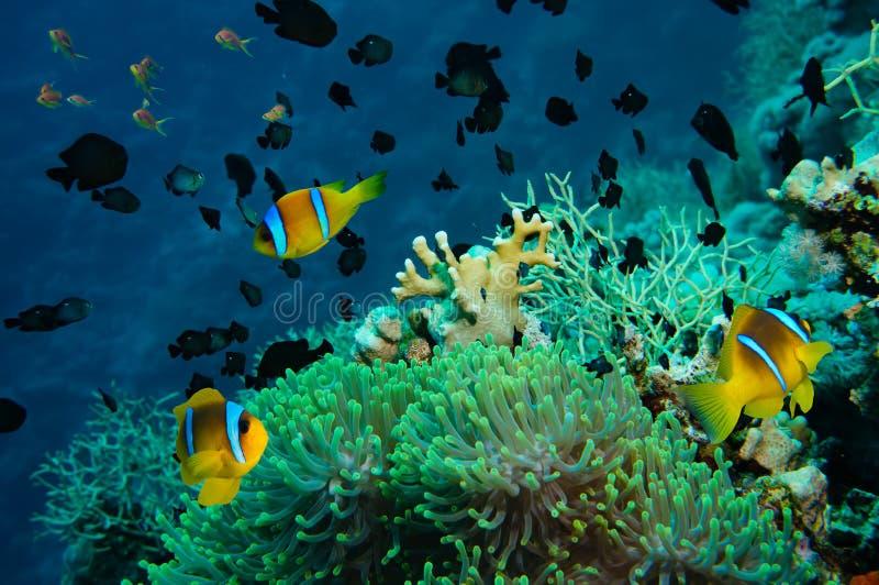Clownfish e anêmona em um recife de corais tropical fotos de stock