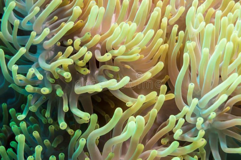 Clownfish e anêmona em um recife de corais tropical fotografia de stock royalty free