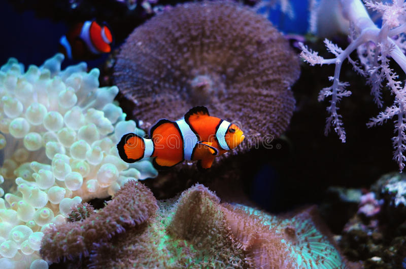 Clownfish e anemone fotos de stock