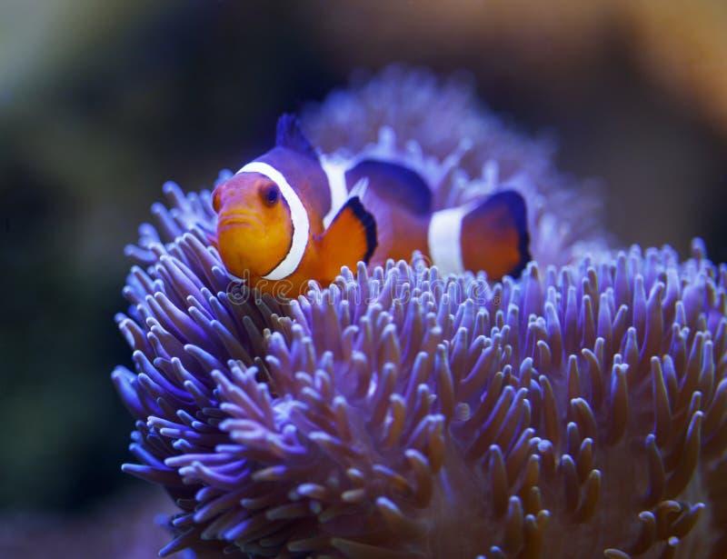 Clownfish e anemone di Ocellaris fotografie stock libere da diritti
