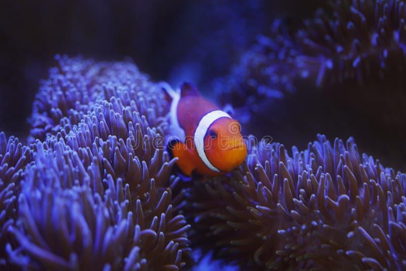 Clownfish e anemone di Ocellaris fotografia stock