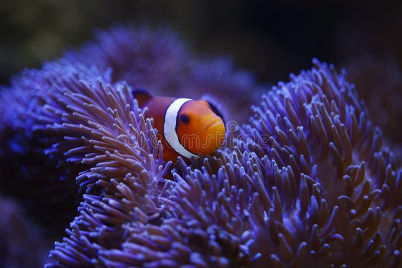 Clownfish e anemone di Ocellaris immagini stock libere da diritti