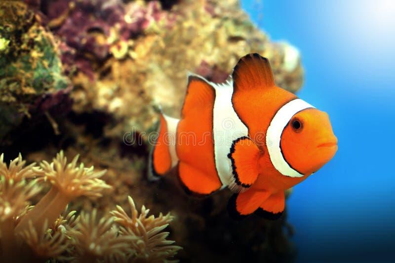Clownfish e corais foto de stock