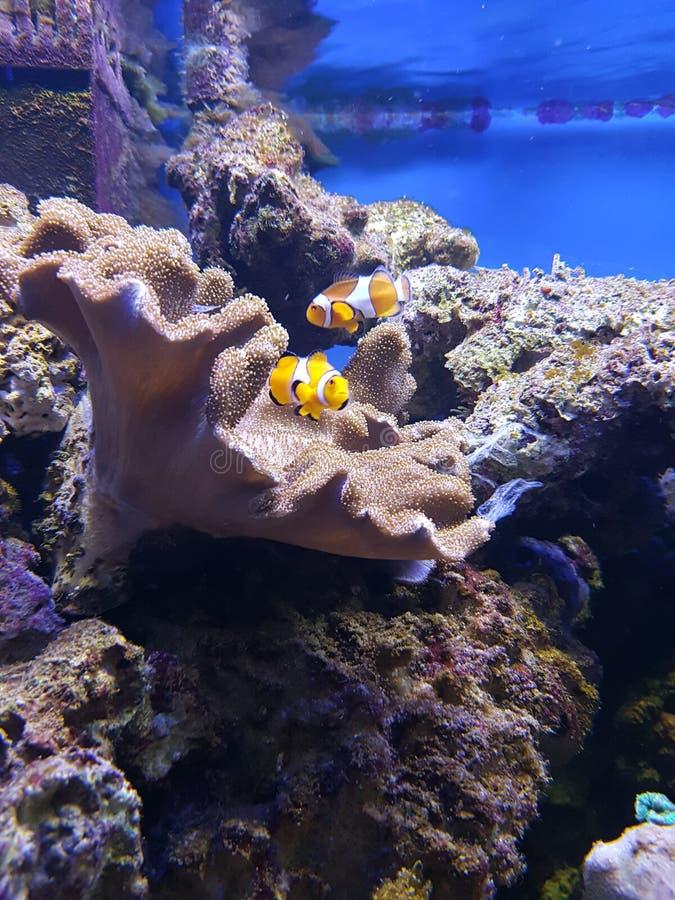 Clownfish in einem korallenroten Aquarium lizenzfreie stockbilder