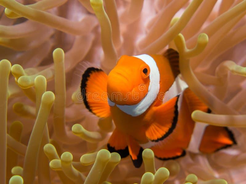 Clownfish in einer Anemone lizenzfreie stockfotos