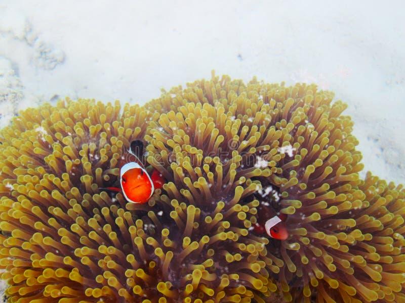 Clownfish eller anemonefish med havsanemoner arkivbild
