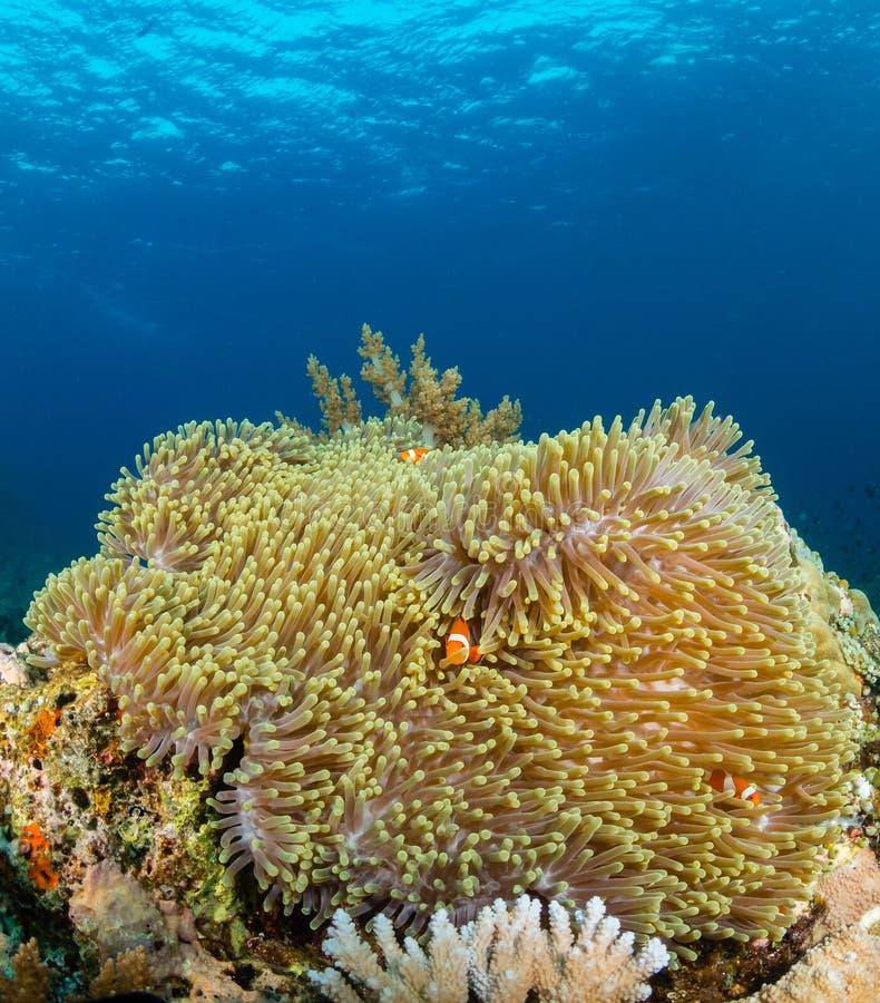 Clownfish em uma grande anêmona em um recife de corais tropical imagem de stock royalty free