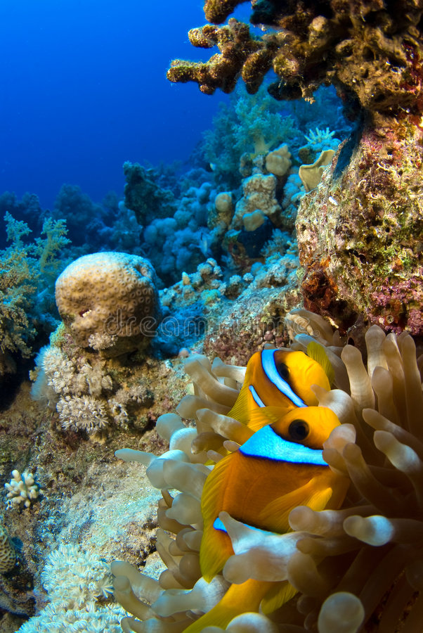 Clownfish en anémona imágenes de archivo libres de regalías