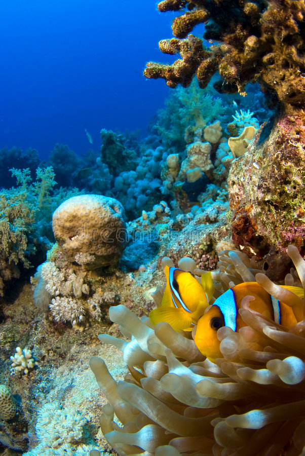 Clownfish en anémona foto de archivo libre de regalías