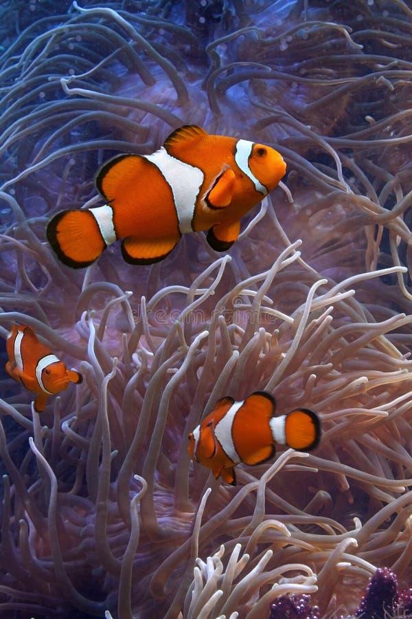Clownfish en anemonefish royalty-vrije stock afbeeldingen