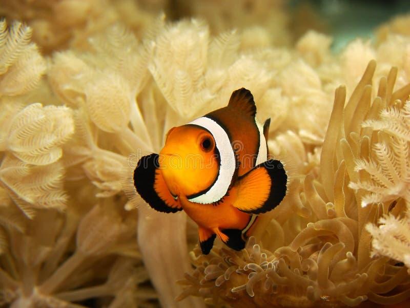 Clownfish en Anemoon royalty-vrije stock fotografie