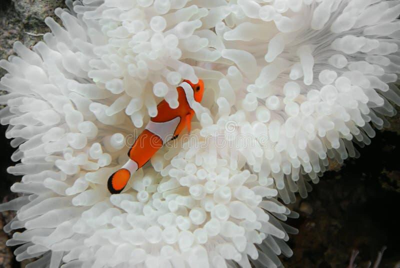 Clownfish en anemoon royalty-vrije stock afbeelding