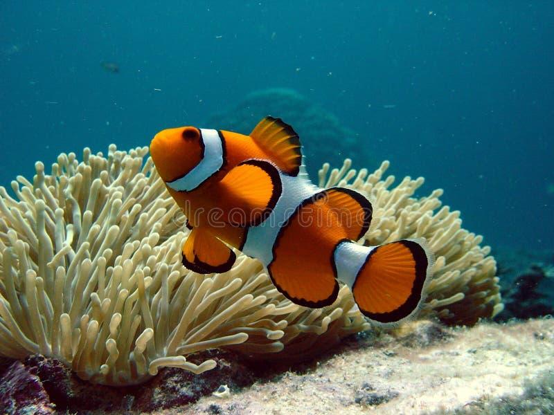 Clownfish en anemoon stock afbeelding